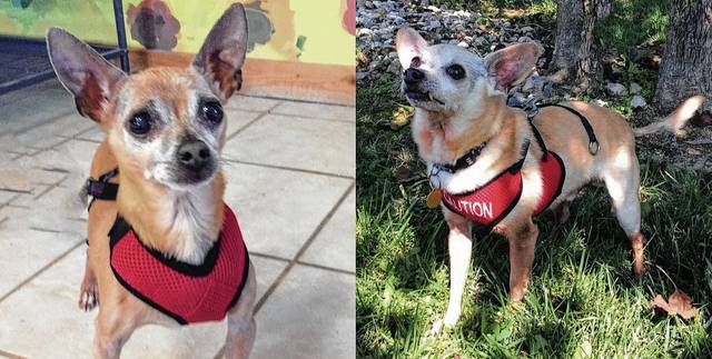 Sisco, 7, and Diego, 10, were two of four Chihuahuas whose futures became uncertain when their owner ran into health problems. Two of the dogs have found homes, leaving the Champaign County Animal League searching for one or two homes for the remaining boys.