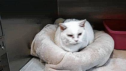 Sophie is an adult white cat ready for her new owners to visit PAWS Animal Shelter.