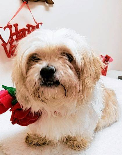 Miles became orphaned when his owner died. He had the good fortune to be taken to Barely Used Pets and is now in the Senior-for-Senior program, although he would love a new person of any age.