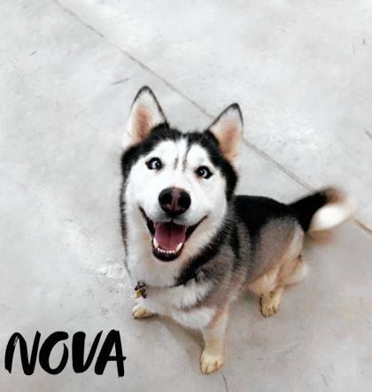 Nova is a 3-year-old Husky eager to be adopted into a loving household. You can visit her at the Champaign County Animal Welfare League.