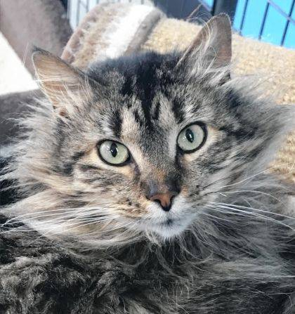 Lovely Harriet is a 2-year-old Maine Coon cat available for adoption at the Champaign County Animal Welfare League.